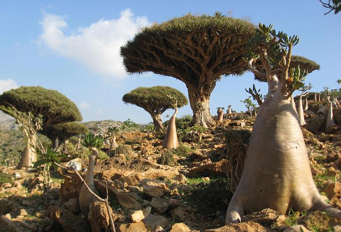 Socotra-%20Homhil_0807