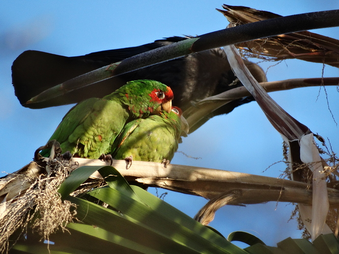 2015-04-19%20red%20spectacled%20Amazon%20parrot%20-%20Venice%20CA%2005