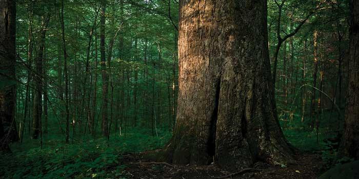 400-year-old-poplars