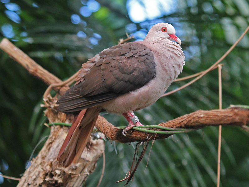 800px-Pink_Pigeon_RWD3