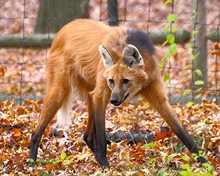 750px-Maned_Wolf_11%2C_Beardsley_Zoo%2C_2009-11-06