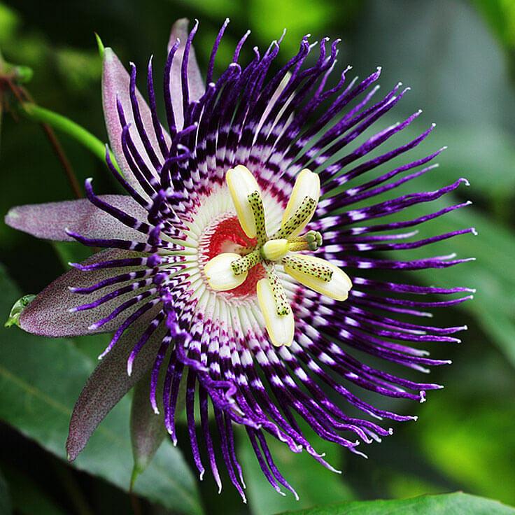 passion%20flower%208